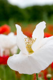 Blooming flower in poppy field Royalty Free Stock Photography