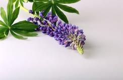 Blooming flower purple lupine Lupinus Royalty Free Stock Photo