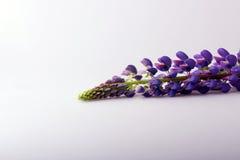 Blooming flower purple lupine Lupinus Stock Photography