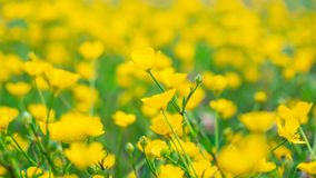 Blooming flower in spring, buttercup, crowfoot. Flora stock photo
