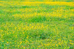 Blooming flower in spring, buttercup, crowfoot. Flora royalty free stock images