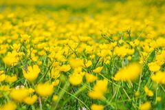 Blooming flower in spring, buttercup, crowfoot. Flora stock images