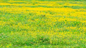 Blooming flower in spring, buttercup, crowfoot. Flora royalty free stock photography