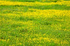 Blooming flower in spring, buttercup, crowfoot. Flora stock photos