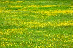Blooming flower in spring, buttercup, crowfoot. Flora royalty free stock photo