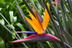 Blooming flower of Strelitzia reginae. Long orange. Strelizia. Bird of paradise Stock Photo