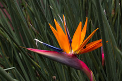 Blooming flower of Strelitzia reginae. Long orange. Strelizia. Bird of paradise Royalty Free Stock Photos