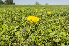Blooming flower Taraxacum officinale (common dandelion, dandelion) Stock Image