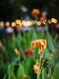 Blooming flower towards dusk in the garden stock photos