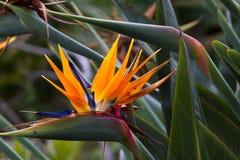Blooming flower of tropical Strelitzia reginae Stock Photos