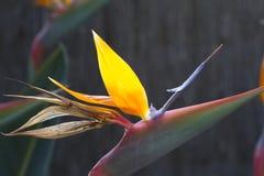Blooming flower of tropical Strelitzia reginae Royalty Free Stock Photo