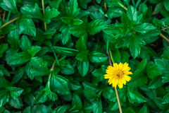 Blooming flower. The blooming yellow flower in the green leaves Stock Photo