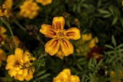 Yellow garden flower top view Stock Images
