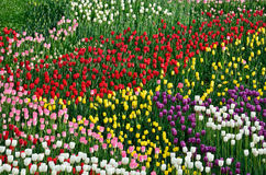 Blooming flowerbed of various tulips Stock Photography