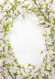 Blooming (flowering) tree branches as round frame on white - spring background Royalty Free Stock Images