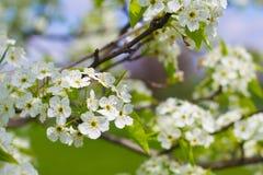 Blooming Flowering Tree in Spring Royalty Free Stock Photo