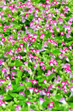 Blooming flowers Royalty Free Stock Image