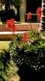 Tropical landscape in sunny day. Blooming flowers of aloe vera plant in garden of residential building in early summer royalty free stock photo