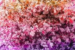 blooming flowers of apple tree springrime bright background royalty free stock photography