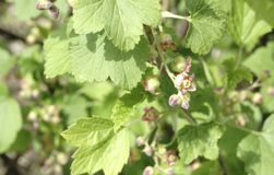 Blooming flowers of Black currant, Ribes nigrum, blackcurrant Royalty Free Stock Photography