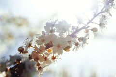 Blooming Flowers Branch Royalty Free Stock Image