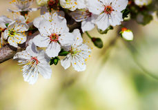 Blooming Flowers Branch Royalty Free Stock Photography