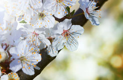 Blooming Flowers Branch Stock Images