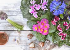 Blooming flowers and bulbs on table royalty free stock image