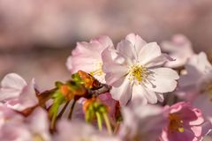 Art photography of blooming flowers cherry tree stock photo