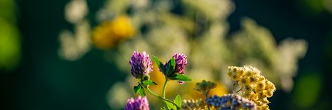 Blooming flowers of clover and cmin sand on a blurred background.Web banner stock photo
