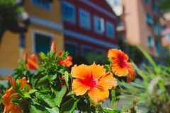 Blooming flowers with colorful houses in background Stock Images