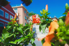 Blooming flowers with colorful houses in background Royalty Free Stock Photos