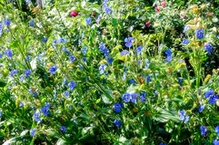Blooming flowers of commelina Stock Image