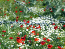 Blooming flowers Crimean. Flowering Crimean poppies behind barbed wire Royalty Free Stock Image