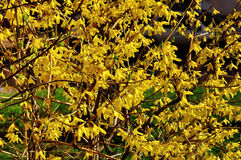 Blooming flowers of forsythia. Spring natural sunny floral background Royalty Free Stock Photos
