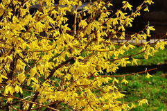 Blooming flowers of forsythia. Spring natural sunny floral background Royalty Free Stock Photography