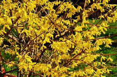 Blooming flowers of forsythia. Spring natural sunny floral background Stock Photos