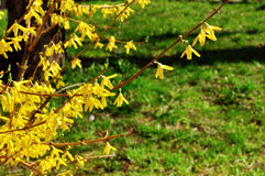 Blooming flowers of forsythia. Spring natural sunny floral background Royalty Free Stock Images