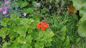 Blooming flowers geranium and carnation in flower bed. Closeup stock footage