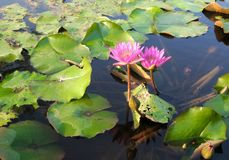 Blooming flowers and green leaves in quiet warm water Stock Images
