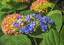 Blooming flowers Hortensia Hydrangea Macrophylla. Concept Flowers for home and garten Royalty Free Stock Photography