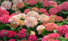 Blooming flowers Hortensia Hydrangea Macrophylla. Flowering plant in the family Hydrangeaceae, native to Japan. Concept Flowers for home and garten Royalty Free Stock Image