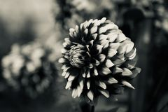 A blooming flowers isolated black and white photo. Beautiful blooming flowers isolated unique natural photo royalty free stock photography