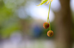 Blooming flowers of London Planetree, maple-leaved plane Royalty Free Stock Images