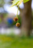 Blooming flowers of London Planetree, maple-leaved plane Royalty Free Stock Photo