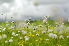 Blooming flowers in meadow. Scenic view of white flowers blooming in grassy field or meadow Stock Photo