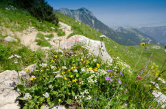 Blooming flowers in the mountains Stock Image