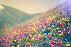 Blooming Flowers in mountains valley alpine Spring Summer seasons Stock Photography