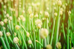 Blooming flowers of onion in summer garden. Blooming flowers of onion in summer sunny garden Stock Photo