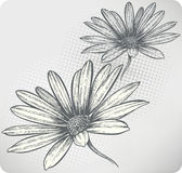 Blooming flowers Osteospermum, hand-drawing. Vecto Stock Photo
